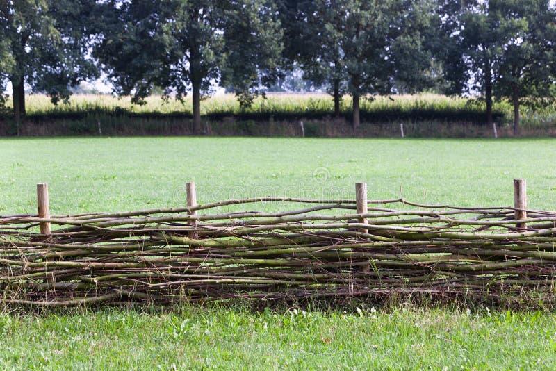 Barrière d'acacia avec un champ de maïs à l'arrière-plan image stock
