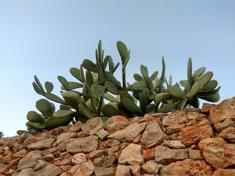 Barrière de cactus sur un mur en pierre photos libres de droits