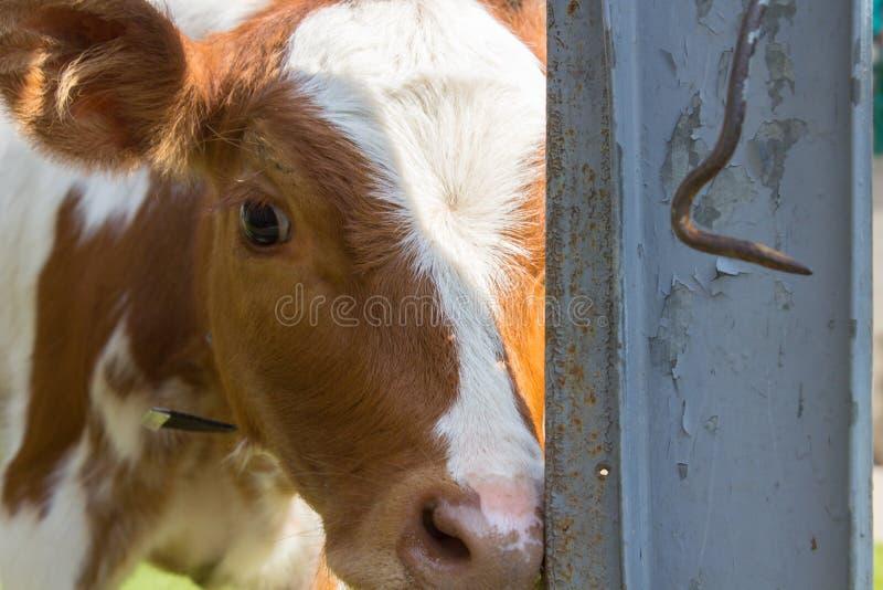 Barrière de veau photos stock