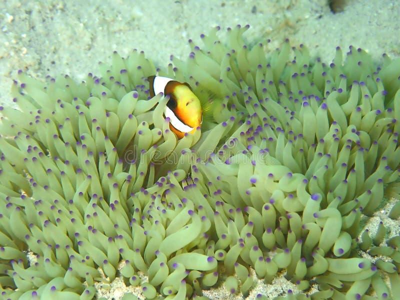 Barrier Reef anemonefish or Amphiprion akindynos during a leisure dive in Tunku Abdul Rahman Park, Kota Kinabalu. Sabah, Malaysia. Closeup and macro shot of royalty free stock photo