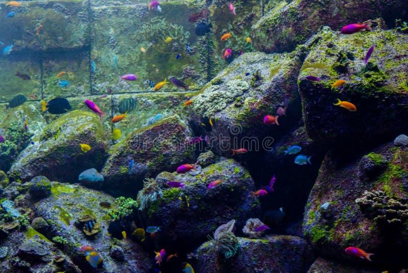 Barriera corallina artificiale circondata dai pesci tropicali dentro l'acquario fotografie stock