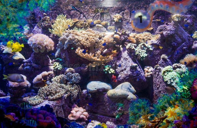 Barriera corallina artificiale con i pesci tropicali reali nell'acquario immagine stock