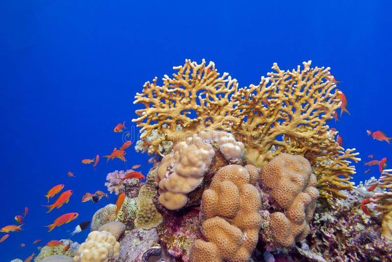 Barriera corallina con i coralli duri ed i pesci esotici al fondo del mare tropicale fotografia stock libera da diritti