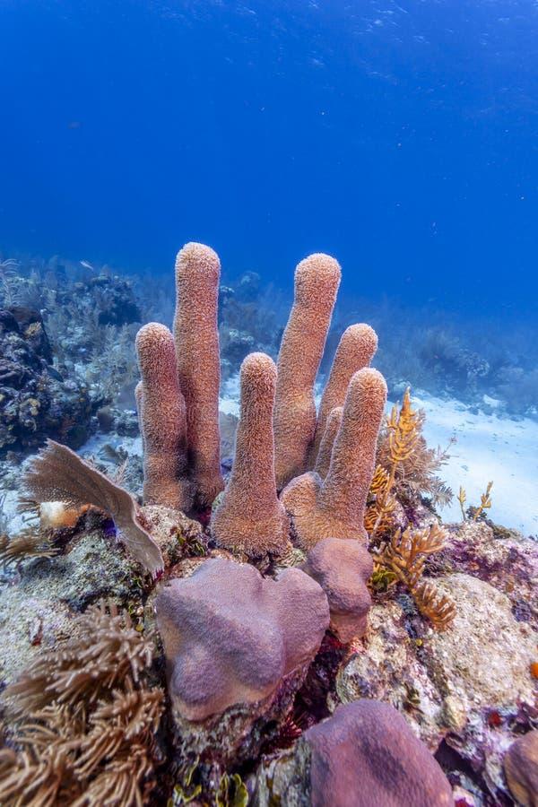barriera corallina della colonna fuori dalla costa della scogliera di Raotan Hondurasral fotografia stock