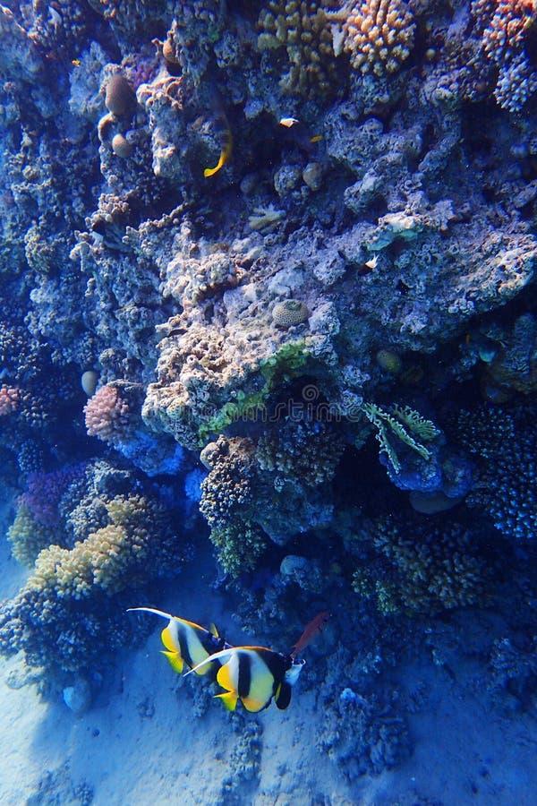 Barriera corallina nell'egitto fotografia stock