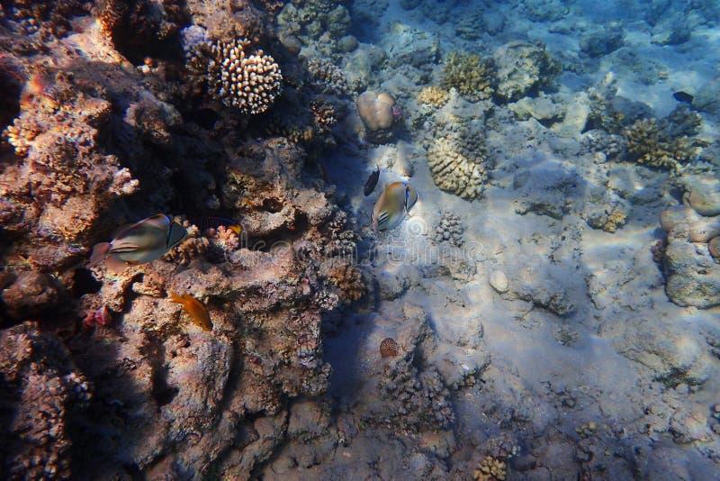 Barriera corallina nell'egitto fotografie stock libere da diritti