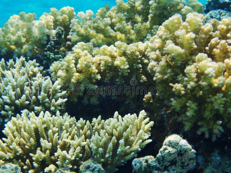Barriera corallina nell'egitto fotografie stock