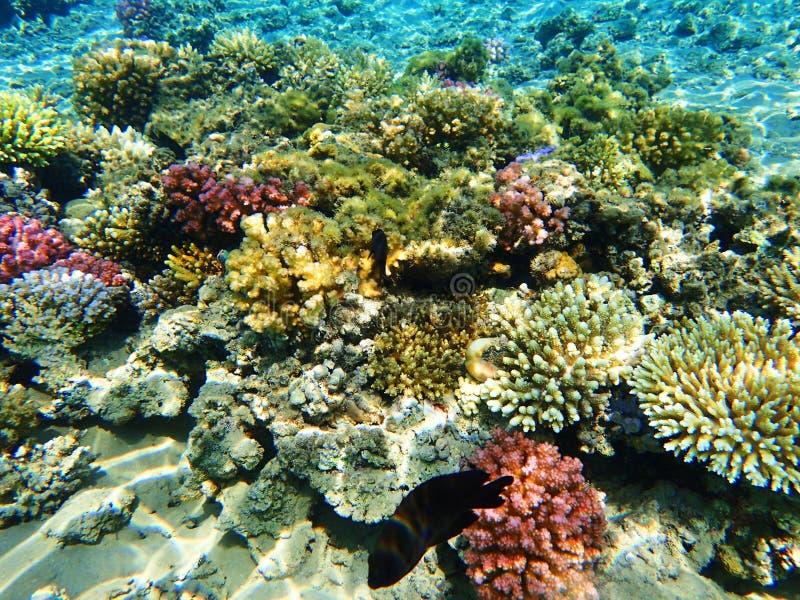 Barriera corallina nell'egitto immagini stock