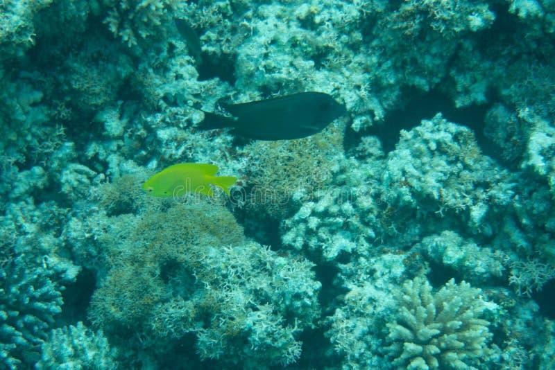 Barriera corallina sul mare tropicale con il paesaggio subacqueo dei pesci variopinti immagine stock