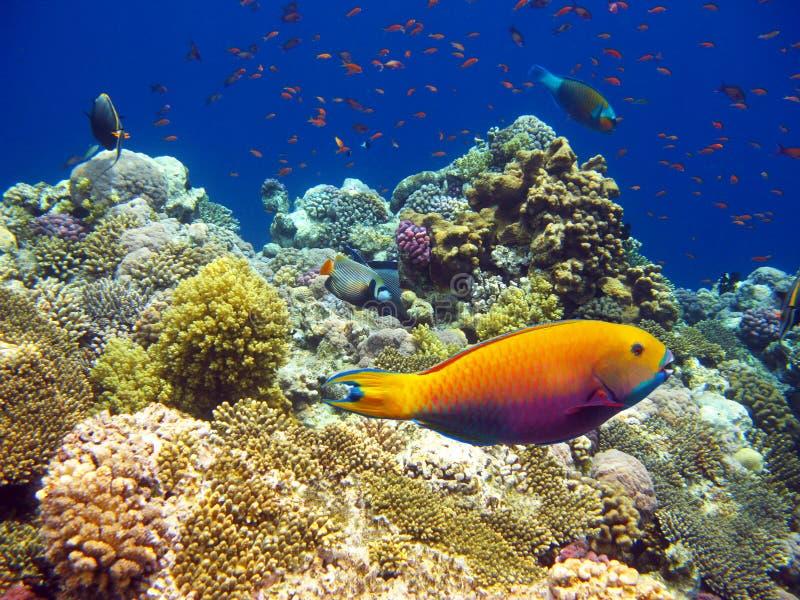 Barriera corallina tropicale immagini stock