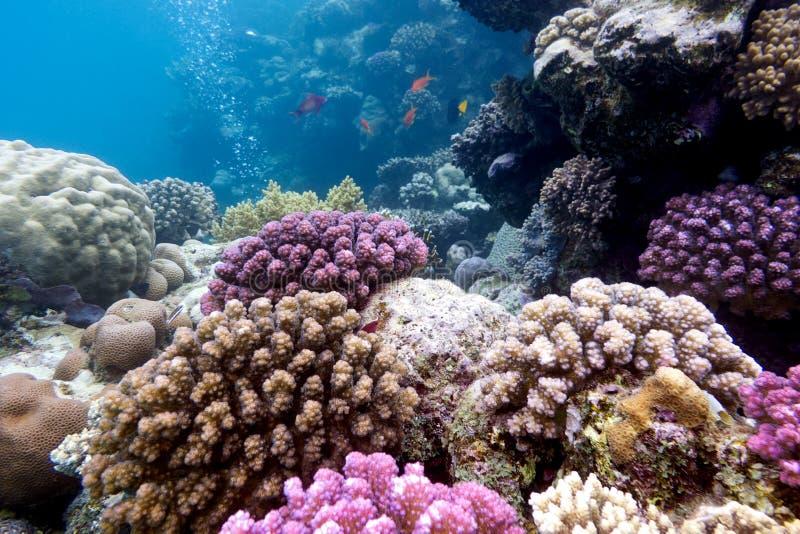 Barriera corallina variopinta con i coralli duri sul fondo del Mar Rosso fotografia stock