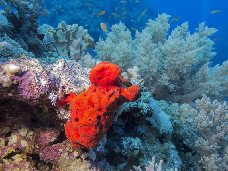 Barriera corallina variopinta sul fondo spugna del mare tropicale, Mar Rosso, paesaggio subacqueo fotografia stock libera da diritti