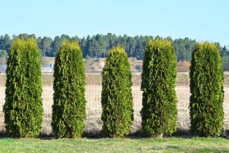 Barriera verde dalle piante sempreverdi immagine stock for Piante decorative