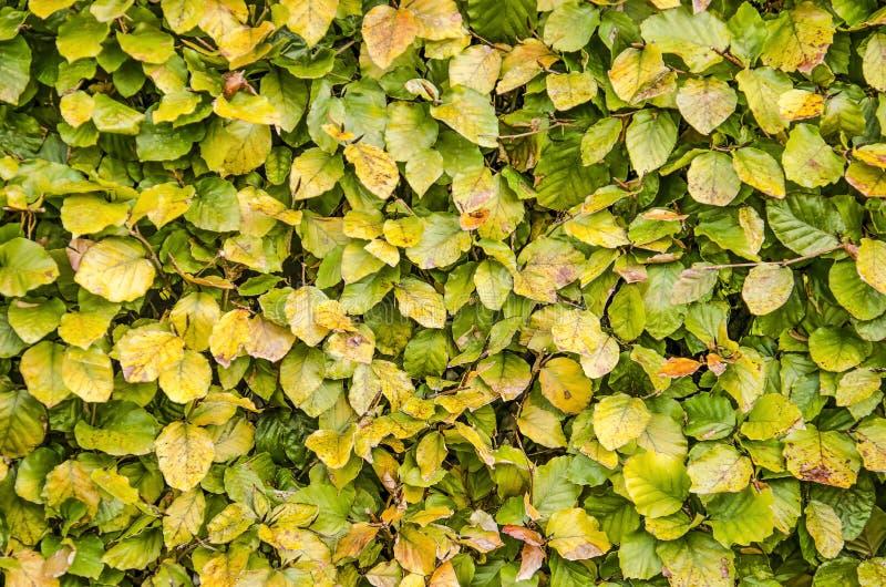 Barriera del faggio in autunno fotografia stock libera da diritti
