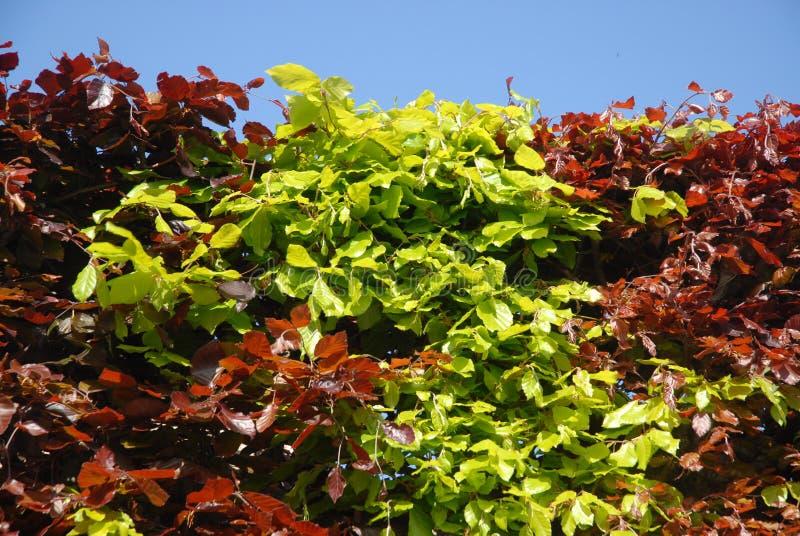 Barriera e cielo blu del faggio, verde e fogliame porpora in primavera immagine stock libera da diritti