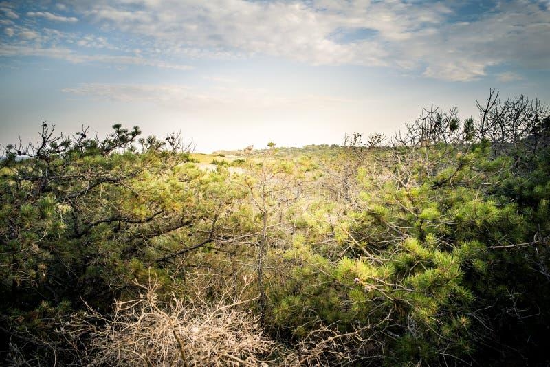 Barriera naturale dell'albero di pino delle dune fotografia stock libera da diritti
