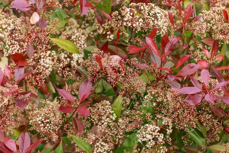 Barriera rossa del pettirosso di Photinia con i fiori bianchi nel giardino di primavera immagine stock