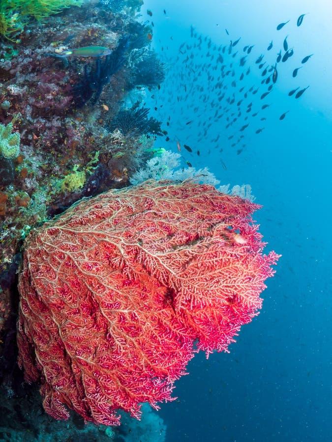 Barriere coralline, grande fan di Mar Rosso, Raja Ampat, Indonesia fotografia stock libera da diritti
