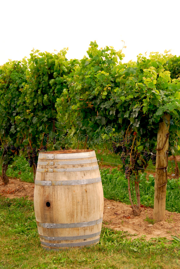 Barril de vino en el viñedo imagen de archivo libre de regalías