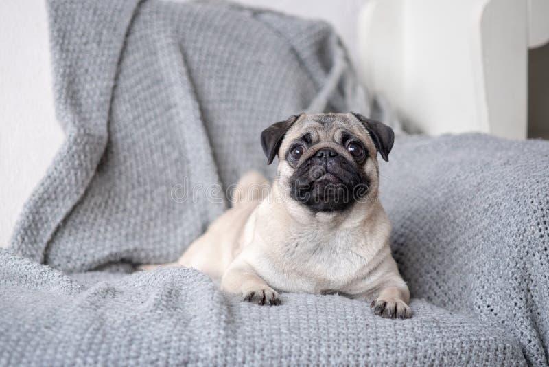 Barro amasado de la raza del perrito que miente en el sofá imagen de archivo libre de regalías