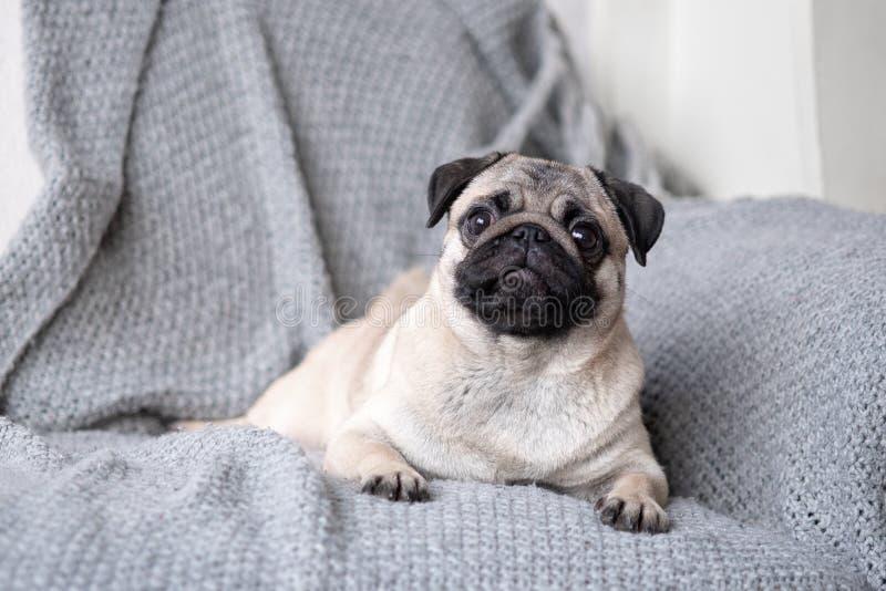 Barro amasado de la raza del perrito que miente en el sofá imagenes de archivo