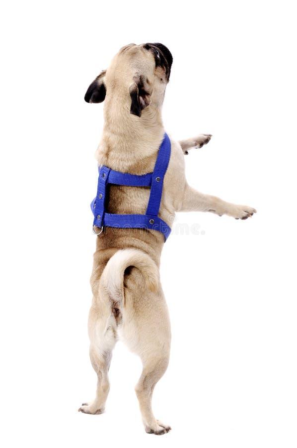 Barro amasado del perro imagen de archivo