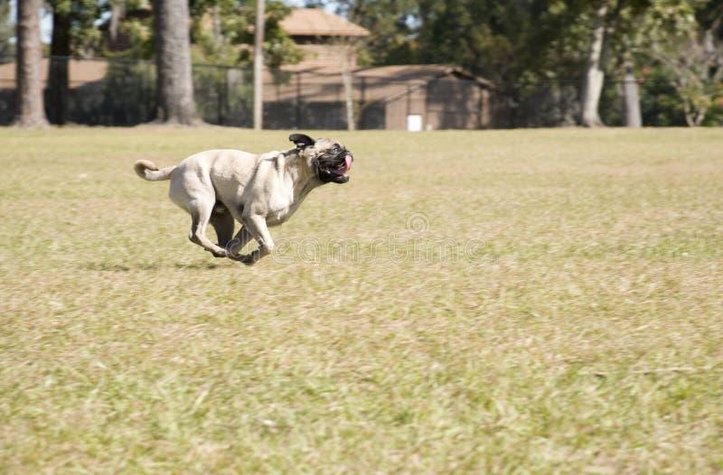 Barro amasado que se ejecuta en el parque del perro imagenes de archivo