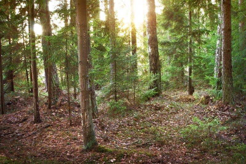 Barrskog i morgonljus arkivfoto