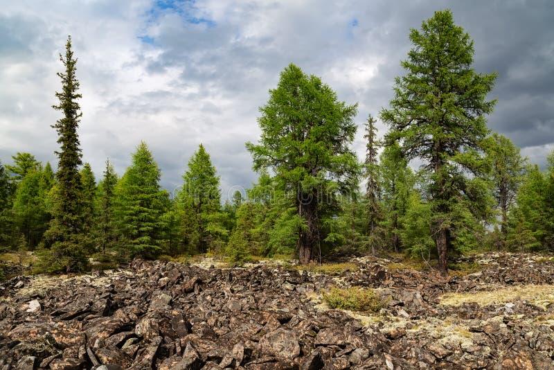Barrskog i södra Yakutia, Ryssland royaltyfri bild