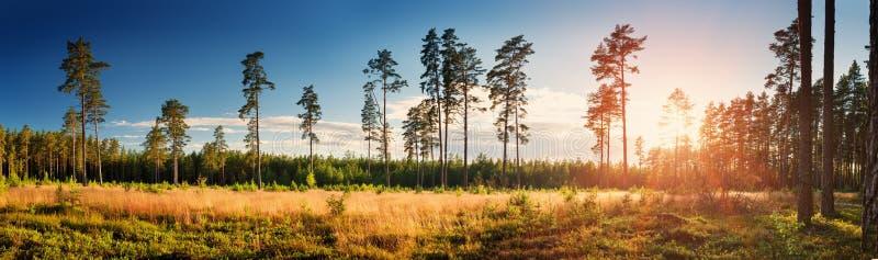 Barrskog med morgonsolen som skiner arkivbilder