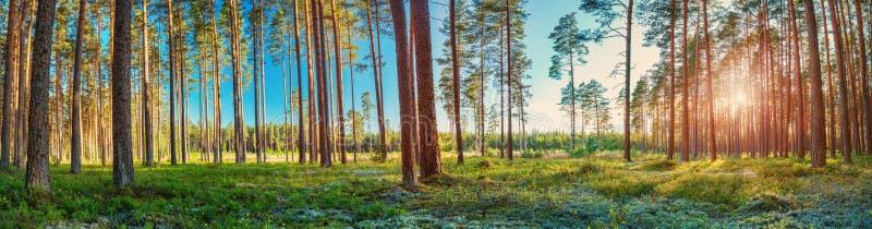 Barrskog med morgonsolen som skiner royaltyfri bild