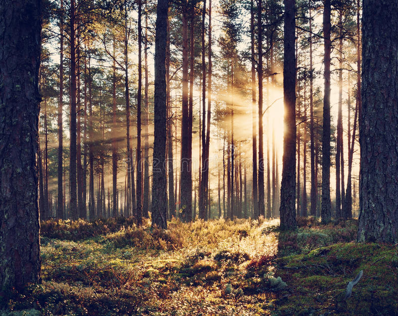 Barrskog med morgonsolen som skiner arkivfoto