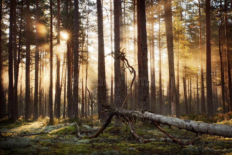 Barrskog med morgonsolen som skiner royaltyfri fotografi