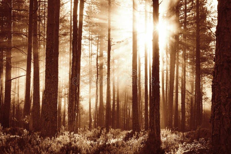 Barrskog med morgonsolen som skiner arkivfoton