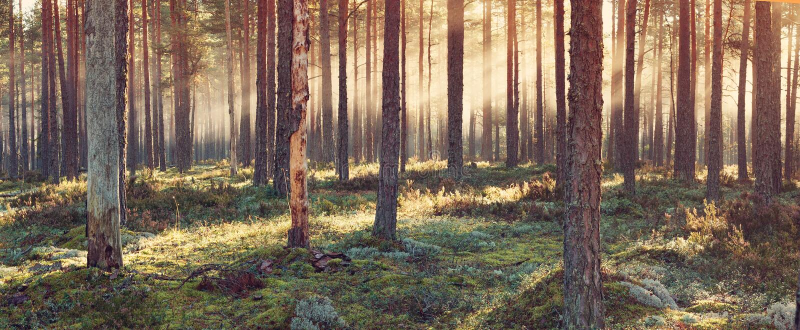 Barrskog med morgonsolen som skiner royaltyfria bilder