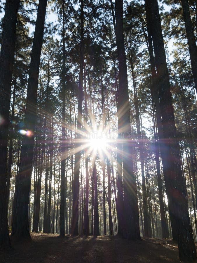 Barrskog med solen som skiner till och med träden (Pinjeskog) arkivfoton