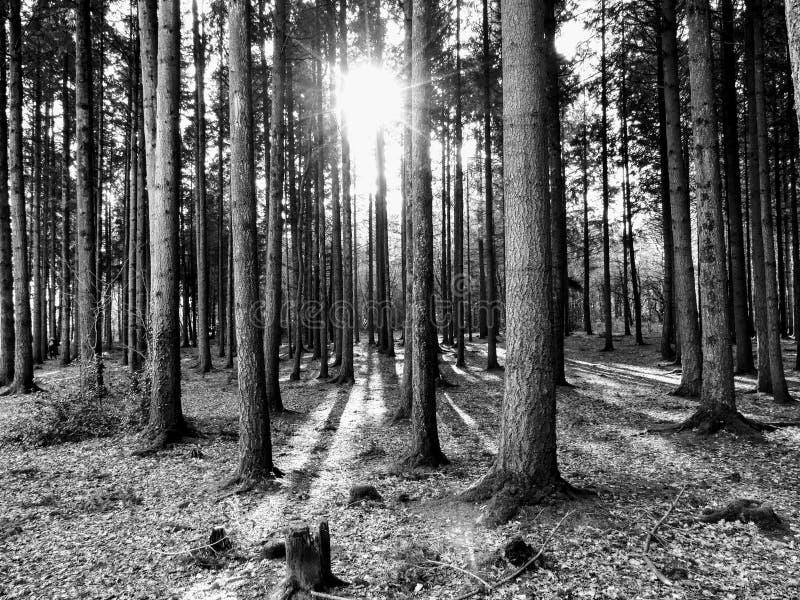 Barrskog med solljus som passerar mellan träden arkivfoto