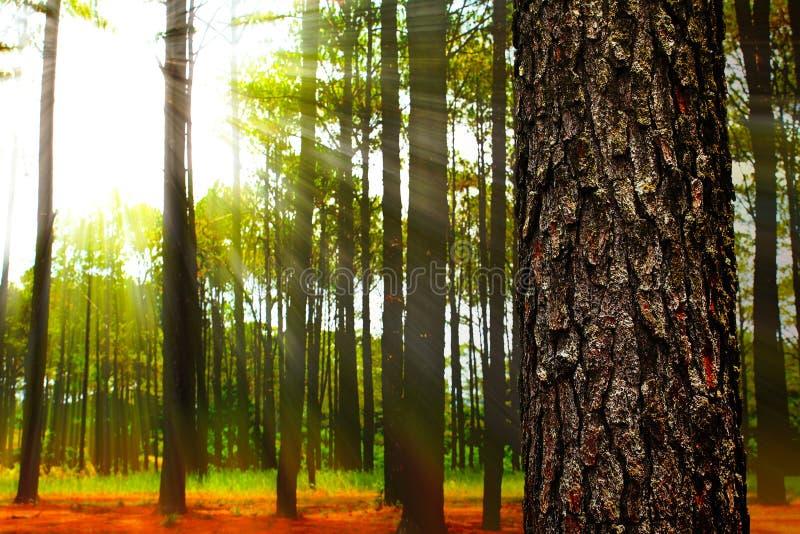 Barrskog på soluppgång royaltyfri fotografi