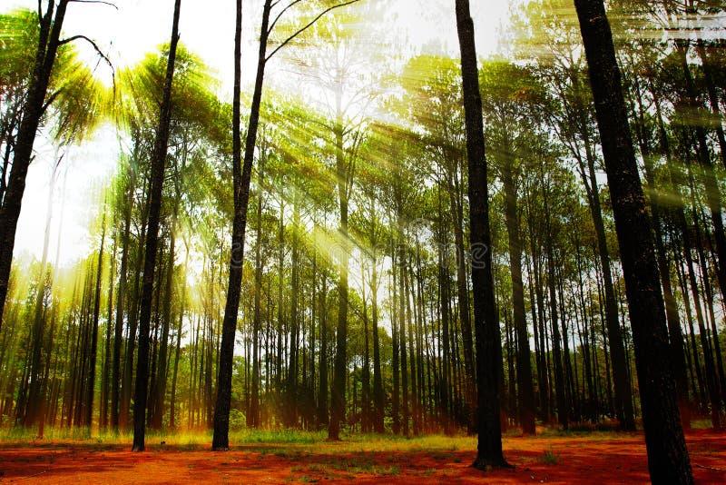 Barrskog på soluppgång royaltyfria foton