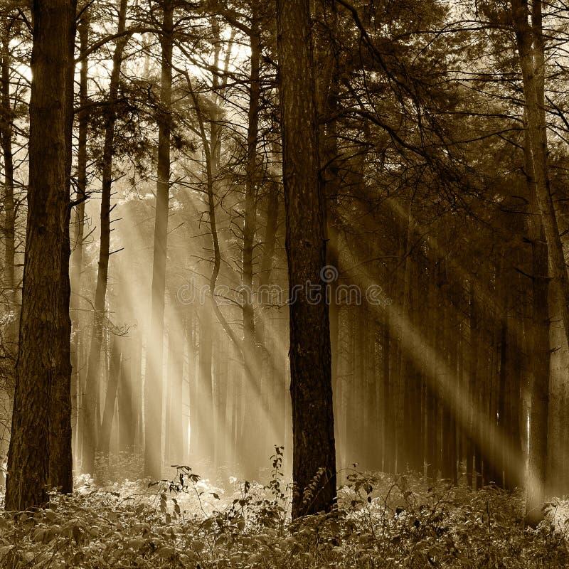 Barrskog som är upplyst vid morgonsolen på en dimmig autu royaltyfria bilder