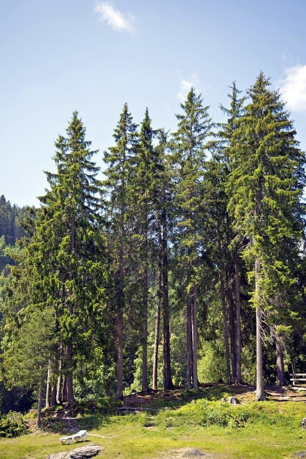 Barrträd arkivfoto