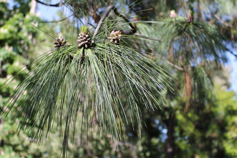 Barrträd i botaniska trädgården Madrid arkivbilder