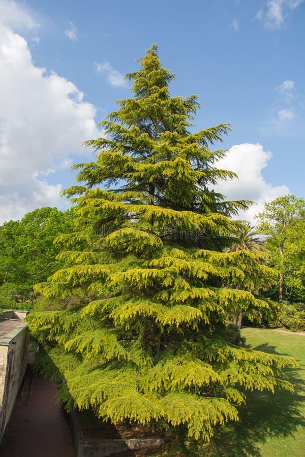 Barrträd i en solig dag med blå himmel och moln på bakgrunder royaltyfria bilder