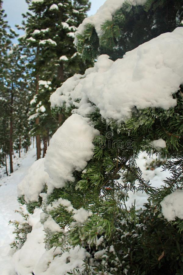 Barrträd i snön på Lake Tahoe på en vandring som ser sjön royaltyfri bild