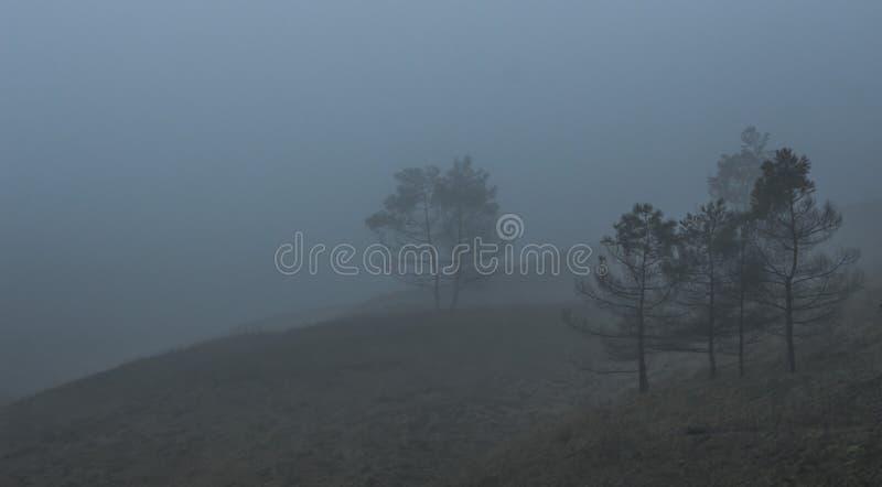 Barrträd i tjock dimma arkivbild