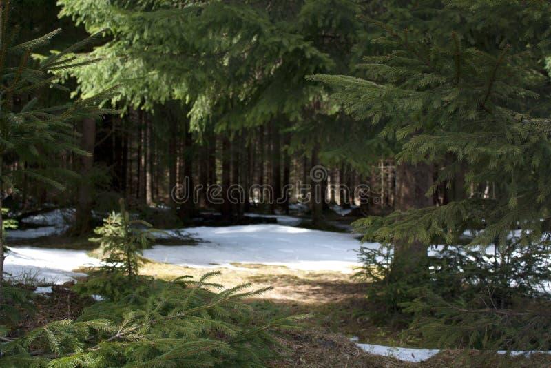 Barrträdfilialer framme av bergskoggläntan royaltyfri bild