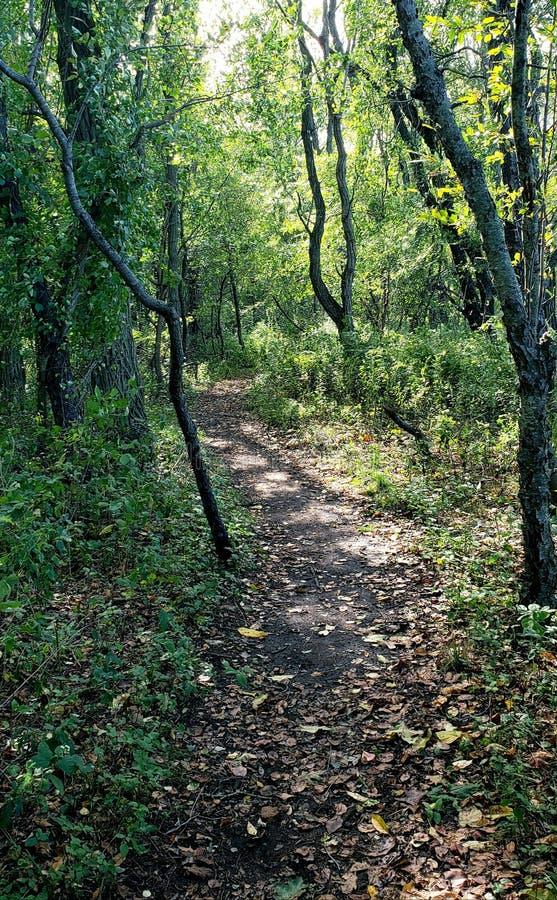 barrträds- östligt ukraine för Europa skogbana trä arkivbilder