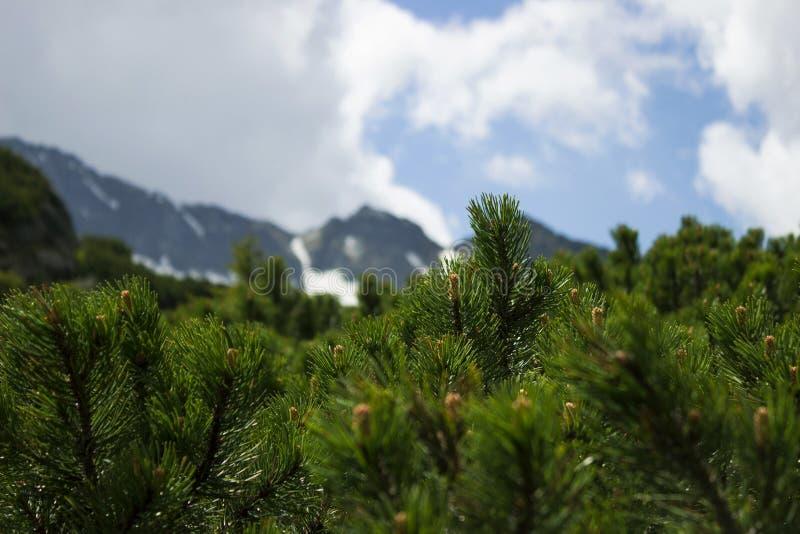 Barrträds- buskar på bakgrunden av en molnig himmel med ett blått glimt arkivbild