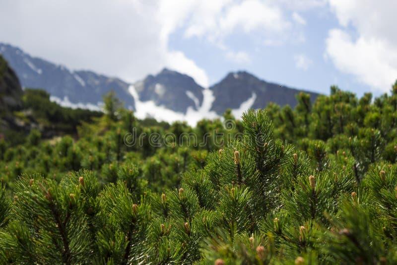 Barrträds- buskar på bakgrunden av en molnig himmel med ett blått glimt fotografering för bildbyråer