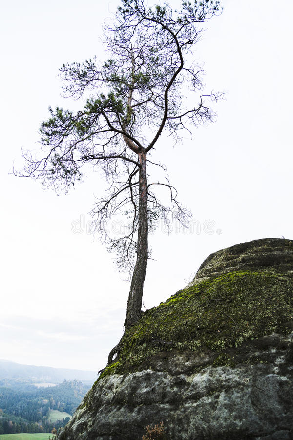 Barrträds- en sörjer det ensamma trädet växer vaggar på berget royaltyfria foton
